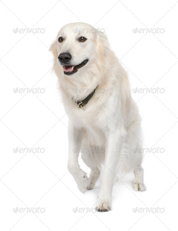 Mixed-Breed Dog between Golden Retriever and husky (5 years) - Stock Photo - Images