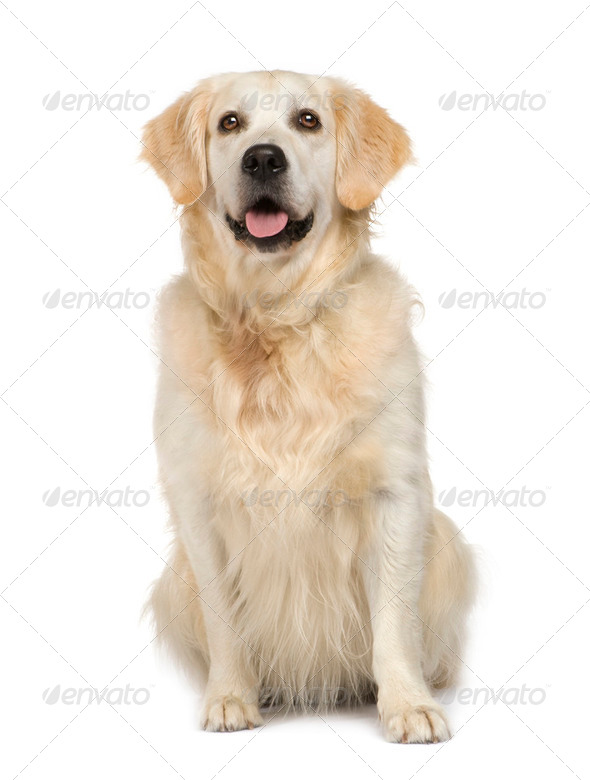 Golden Retriever - Stock Photo - Images