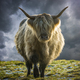 Scottish Highland Cow In Winter - PhotoDune Item for Sale