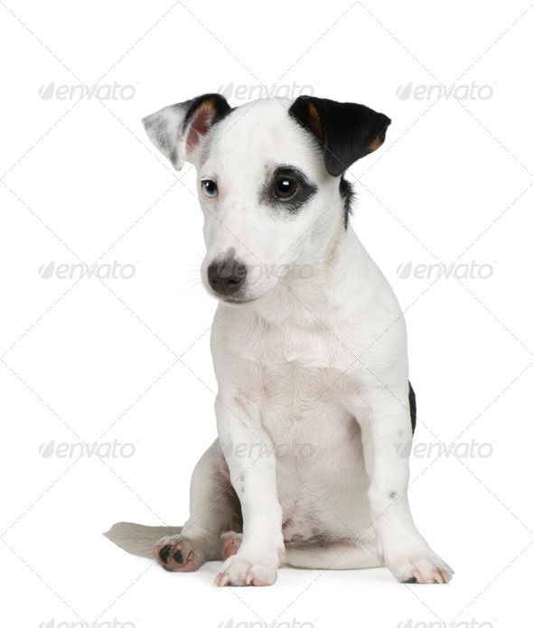 puppy Jack russell (5 months) - Stock Photo - Images