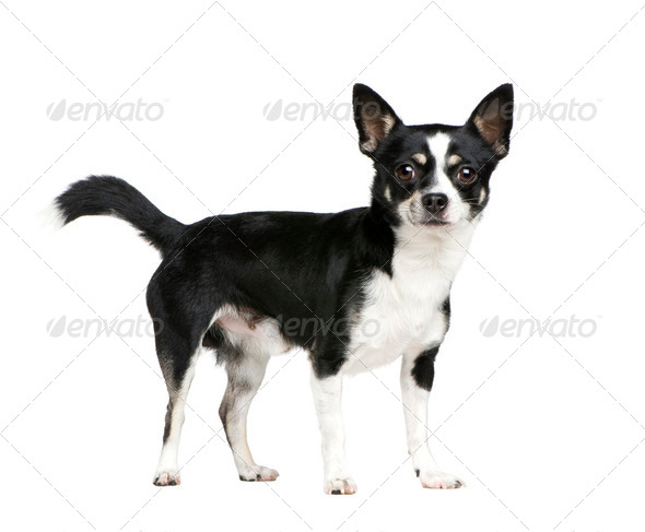 Mixed-Breed Dog with a chihuahua - Stock Photo - Images