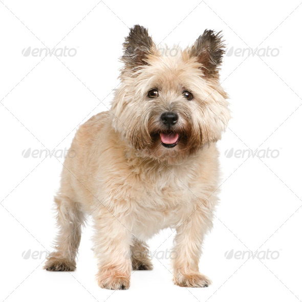 Cairn Terrier (12 years) - Stock Photo - Images