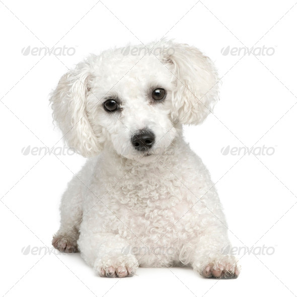 Bichon Frise - Stock Photo - Images