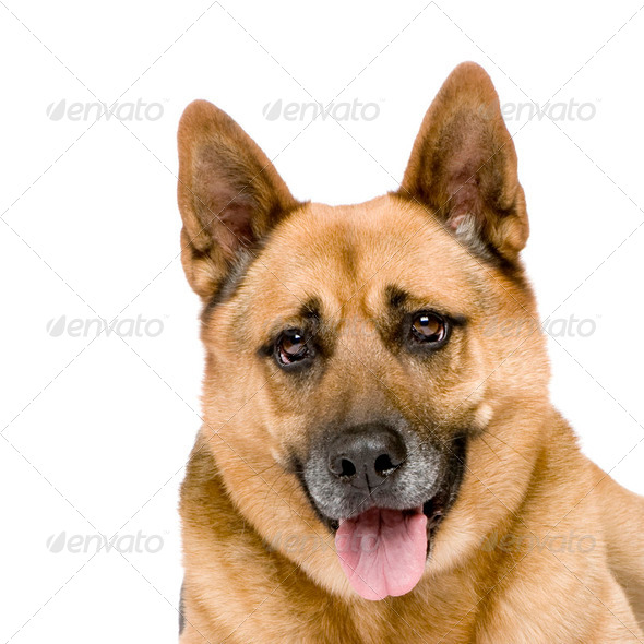 german shepherd (8 years) - Stock Photo - Images