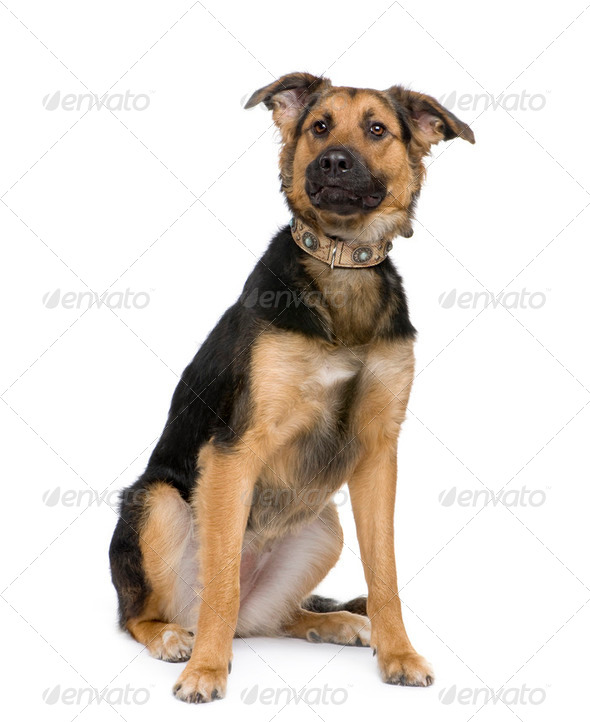 Mixed-Breed Dog between a german shepherd and a beauceron - Stock Photo - Images
