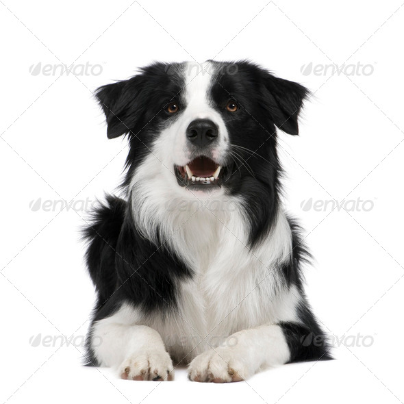 Border Collie (15 months) - Stock Photo - Images