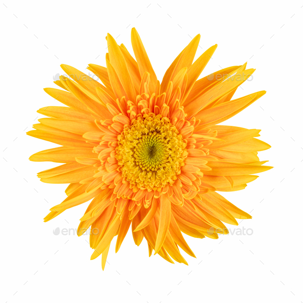 gerbera flower isolated - Stock Photo - Images