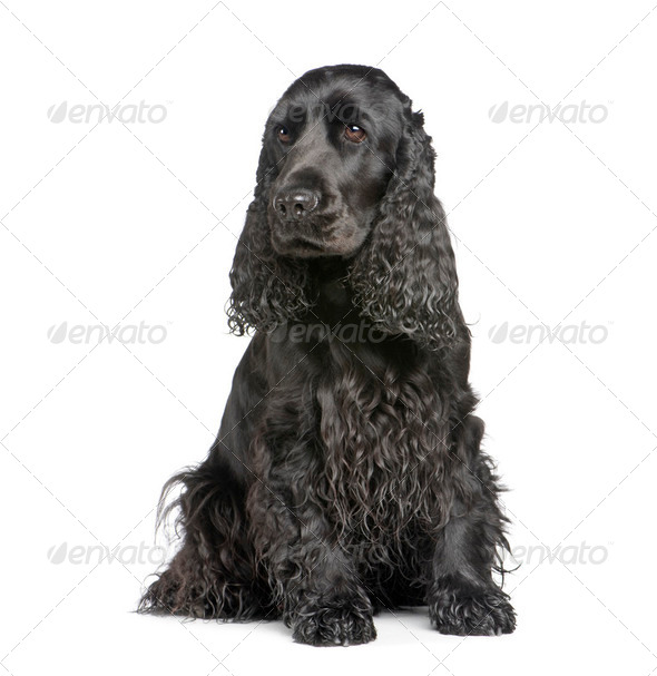 english Cocker Spaniel (2 years) - Stock Photo - Images