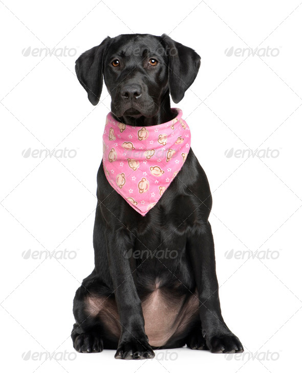 puppy Labrador (4 months) - Stock Photo - Images