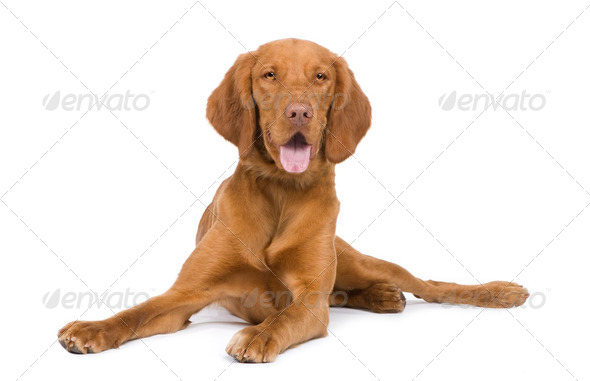 Vizsla ( 9 mois) - Stock Photo - Images