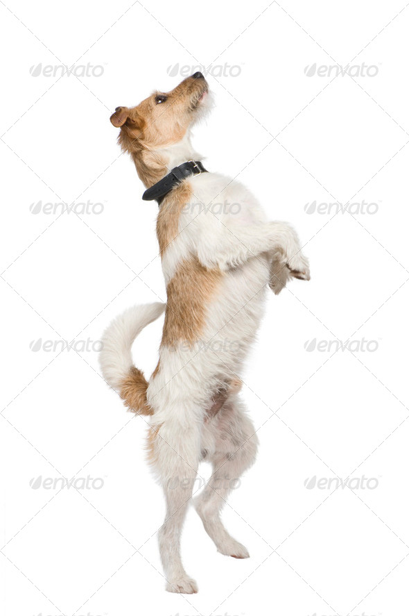 Mixed-Breed Dog with a terrier (2 years) - Stock Photo - Images