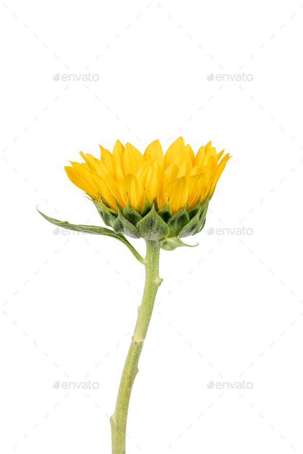 sunflower isolated on white - Stock Photo - Images