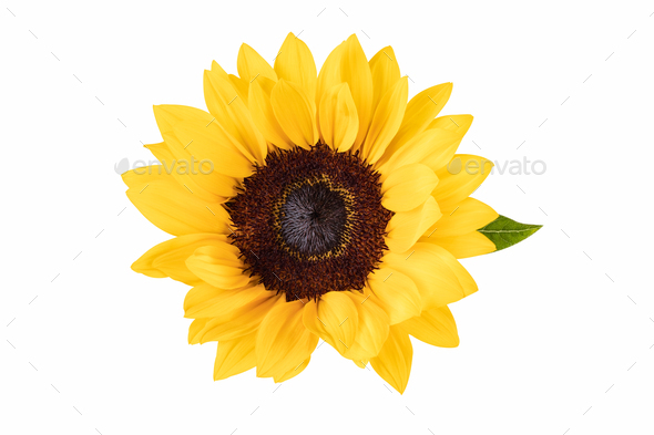 ornamental flower of sunflower isolated - Stock Photo - Images