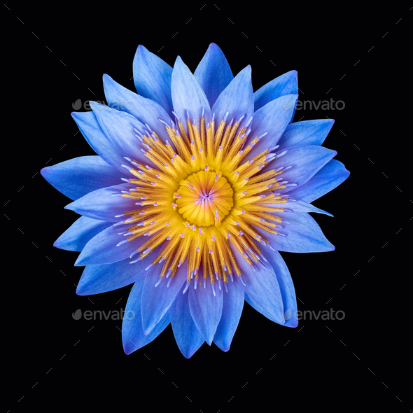 blue water lily isolated - Stock Photo - Images