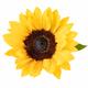 ornamental flower of sunflower isolated - PhotoDune Item for Sale