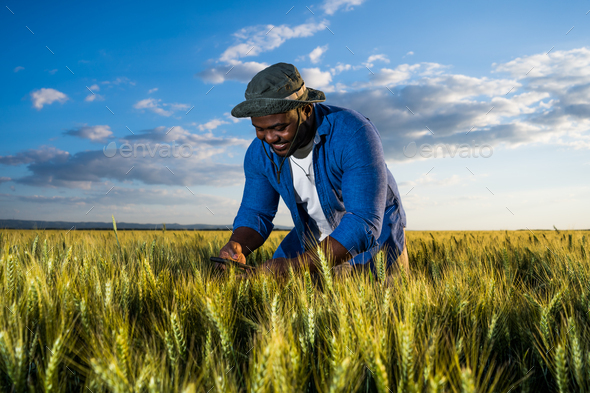 Cultivating wheat - Stock Photo - Images