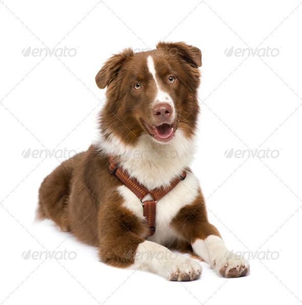 australian shepherd (18 months) - Stock Photo - Images
