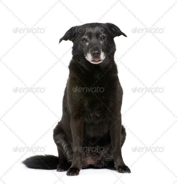 Old Mixed-Breed Dog with a labrador - Stock Photo - Images