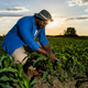 Cultivating corn - PhotoDune Item for Sale