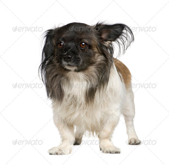 Mixed-Breed Dog with a papillon - Stock Photo - Images