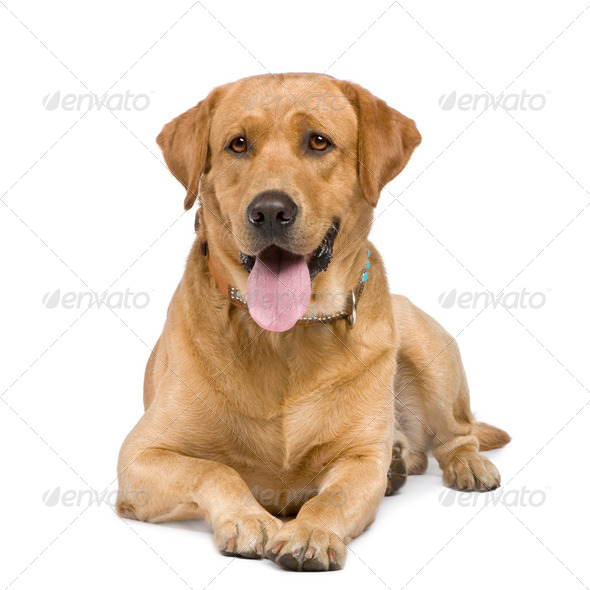 Labrador (3 years) - Stock Photo - Images