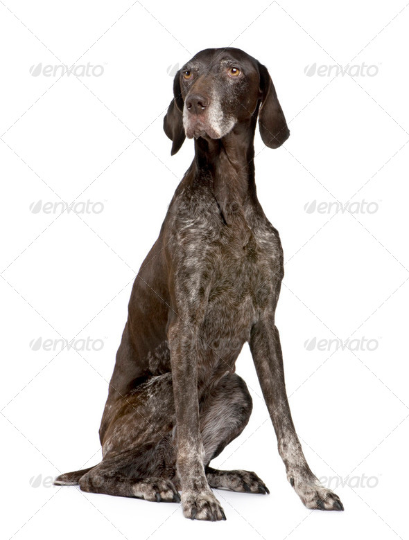 German Shorthaired Pointer (11 years) - Stock Photo - Images