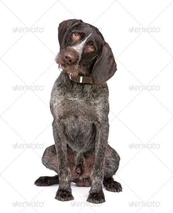 German Shorthaired Pointer (4 years) - Stock Photo - Images