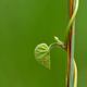 close up of a green leaf on the vine - PhotoDune Item for Sale
