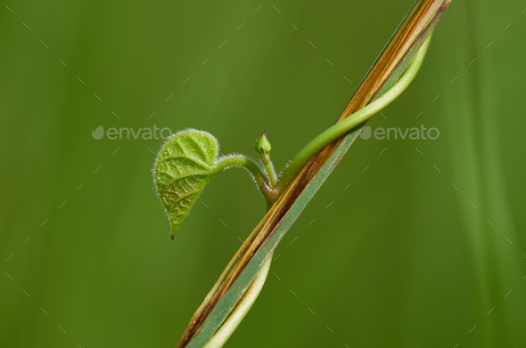 close up of a green leaf on the vine - Stock Photo - Images