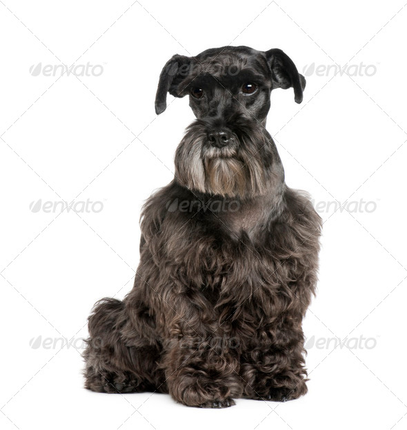 Standard Schnauzer (8 years) - Stock Photo - Images