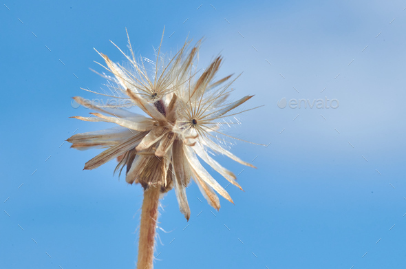 Wilted dandelion seed head - Stock Photo - Images