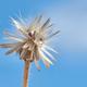 Wilted dandelion seed head - PhotoDune Item for Sale