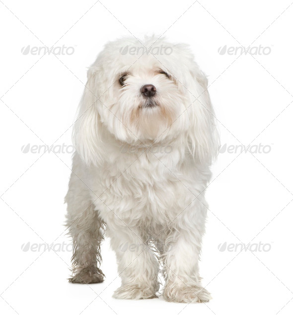 maltese dog (2 years) - Stock Photo - Images