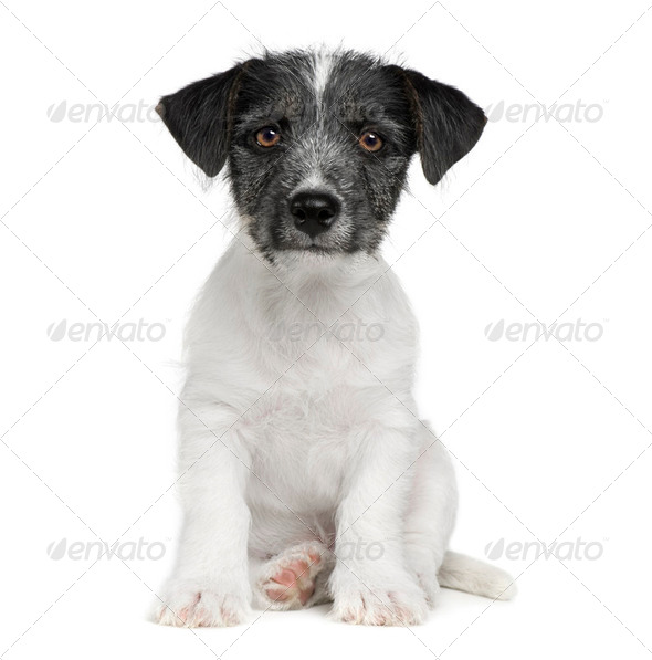 puppy Jack russell (11 weeks) - Stock Photo - Images