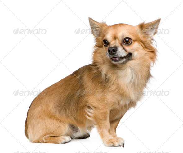 long haired chihuahua (3 years) - Stock Photo - Images