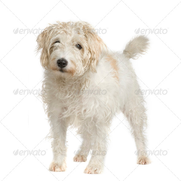 Parson Russell Terrier - Stock Photo - Images