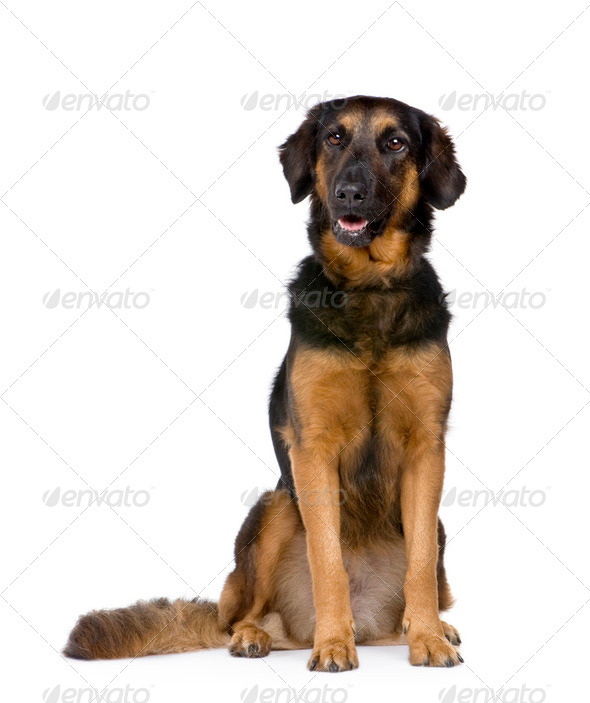 Hovawart dog (6 years) - Stock Photo - Images