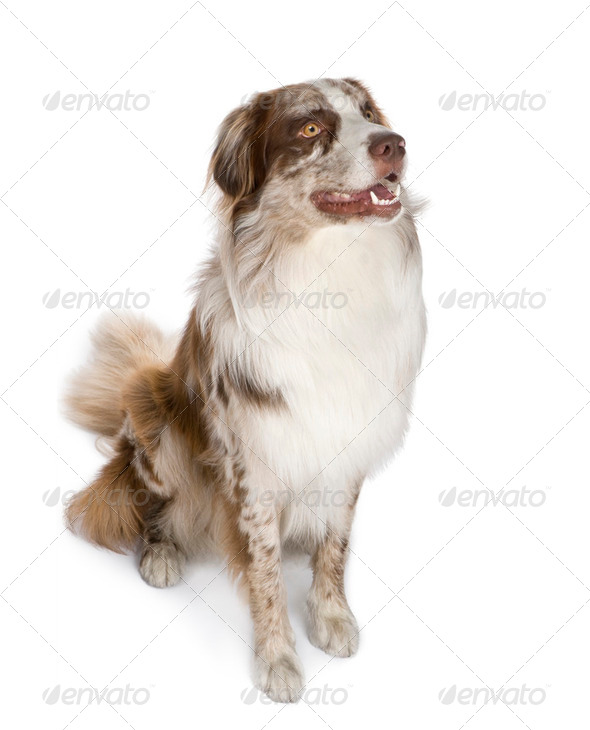 australian shepherd (11 months) - Stock Photo - Images