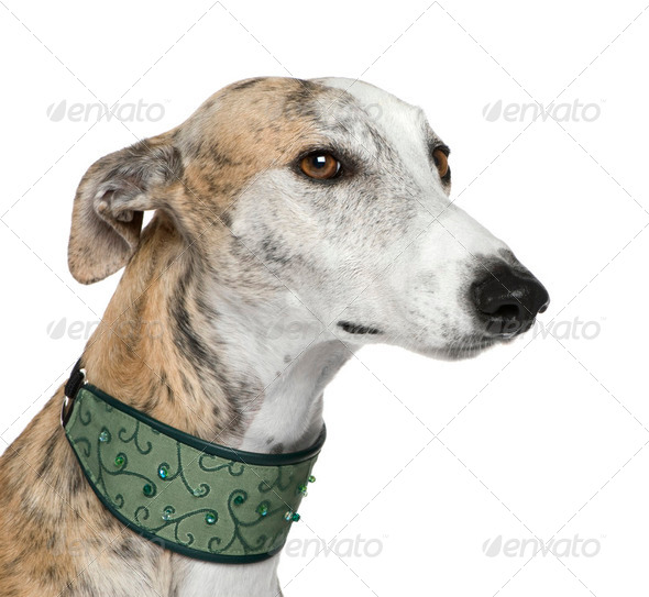 Galgo Espanol (4 years) - Stock Photo - Images