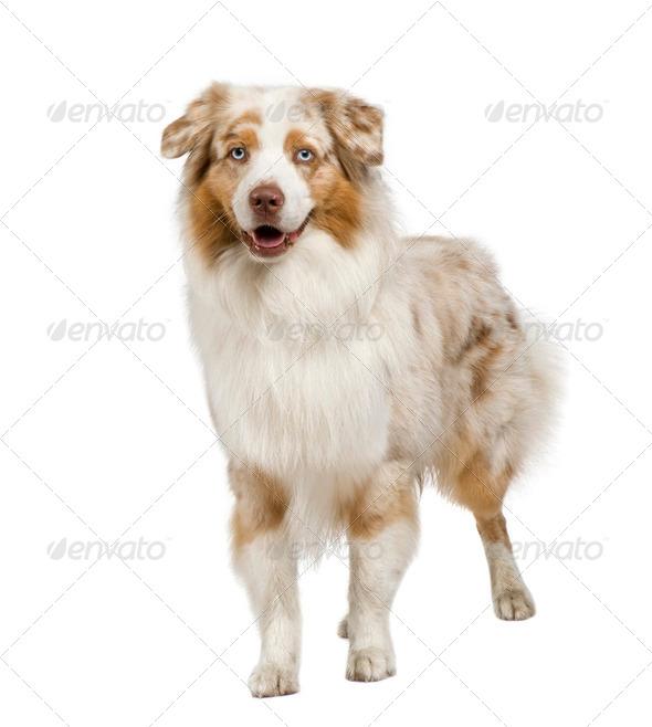 australian shepherd (3 years) - Stock Photo - Images
