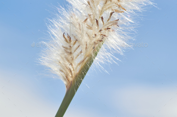 White fluffy of the reed flower - Stock Photo - Images