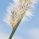 White fluffy of the reed flower - PhotoDune Item for Sale