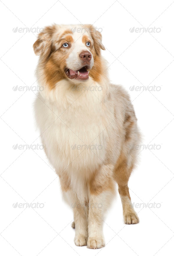 australian shepherd (3 years) - Stock Photo - Images