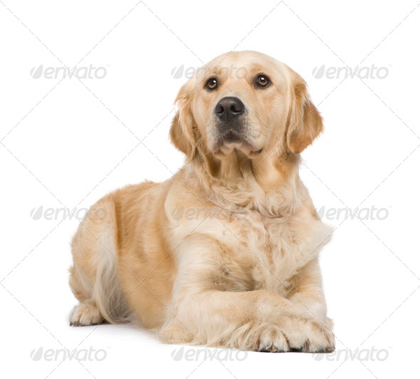 Golden Retriever (2 years) - Stock Photo - Images