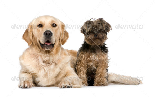 Golden Retriever (2 years) and a yorkshire terrier - Stock Photo - Images
