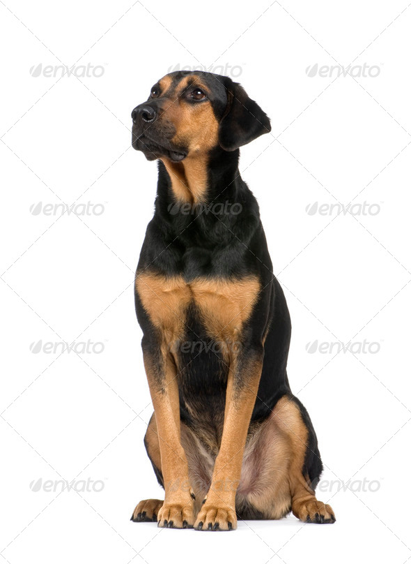 Mixed-Breed Dog with a beauceron (6 years) - Stock Photo - Images
