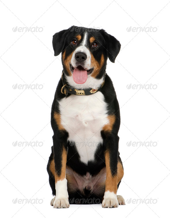 Entlebucher Mountain Dog () - Stock Photo - Images