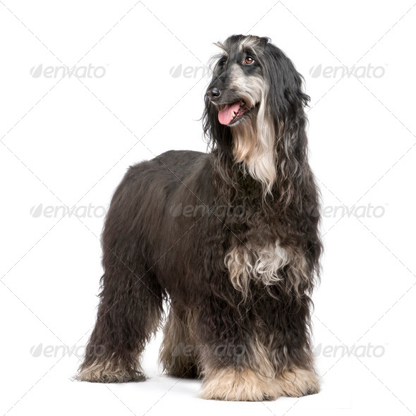 Afghan Hound (7 years) - Stock Photo - Images