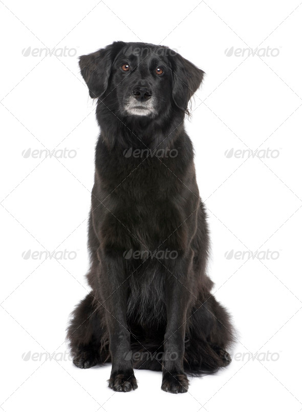 Old Mixed-Breed Dog with a labrador (6 years) - Stock Photo - Images