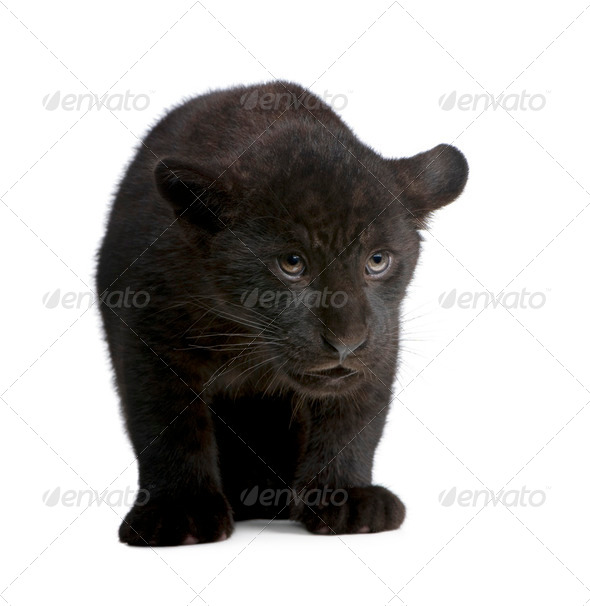 Jaguar cub (2 months) - Panthera onca - Stock Photo - Images